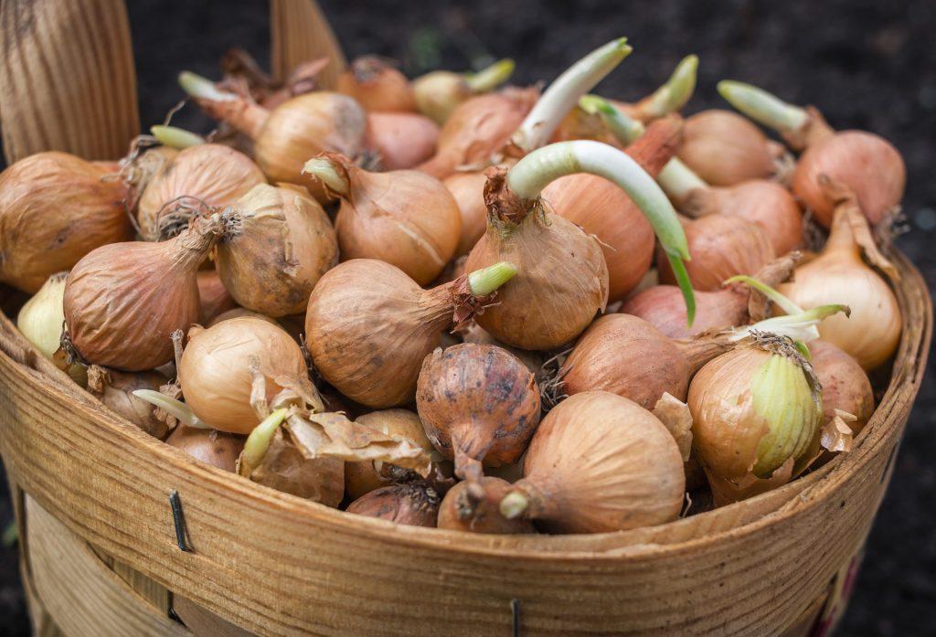 los bulbos de cebollas tienen tallos subterraneos