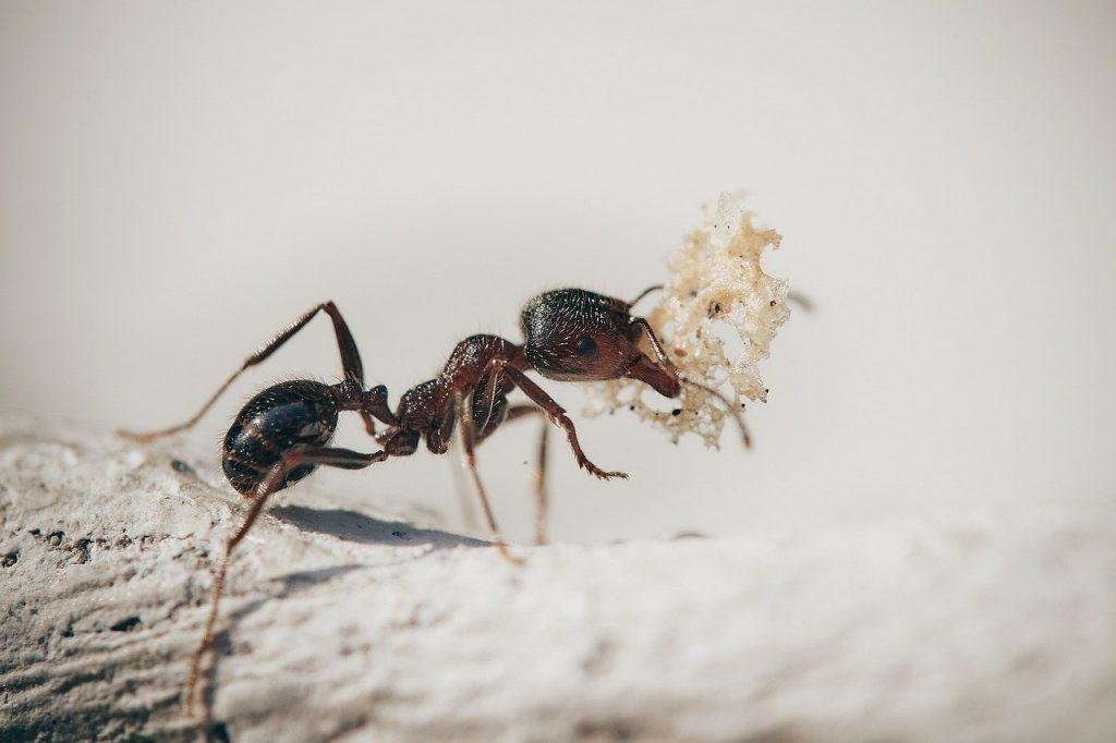 hormiga en plena acción llevando comida