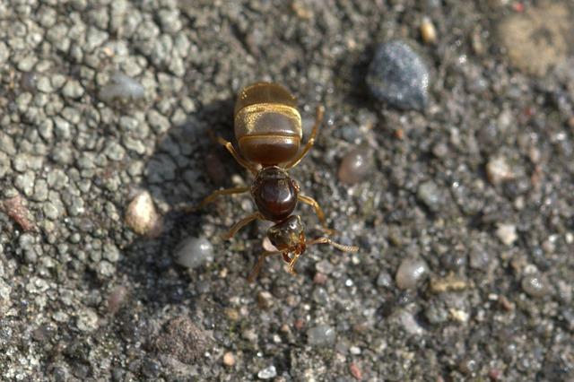ejemplo de hormiga reina