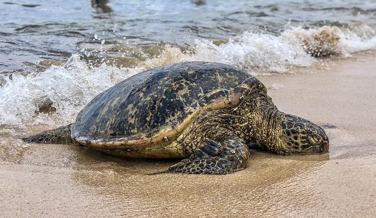 tortuga marina saliendo del mar