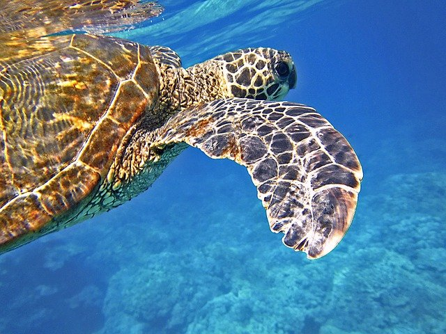 tortuga verde conocida por Chelonia mydas