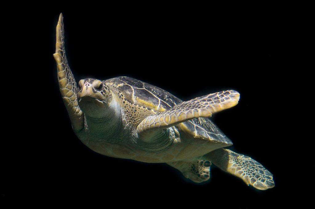 las tortugas marinas son buenas nadadoras