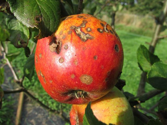 fruta en árbol atacada
